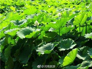 郑州西流湖的荷花已悄然绽放