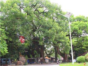 【探访兴业文明】一起探访兴业千年古樟树!