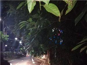 迎宾大道人行道上的树待修整