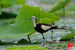 濮阳金堤河湿地—水鸟的天堂之二。