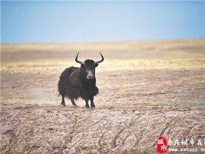 青海可可西里申遗成功 为青藏高原首个世界自然遗产地