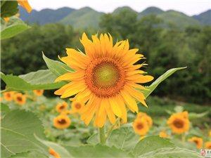 也去檀木湾,也拍向日葵
