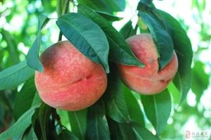 临潼零口零塬村不但可以游山玩水 还能摘桃、黄花菜 约么?