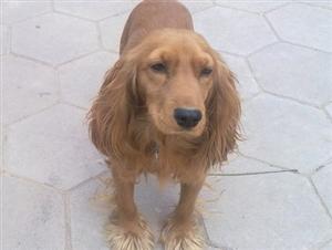自繁自育自销2-4个月大的可卡犬求好心人士收留