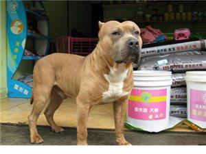 特价处理自家繁殖的一窝比特犬当面选择拒绝狗贩子