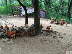 大量销售山上散养鸡。联系人:刘新旺15638145586
