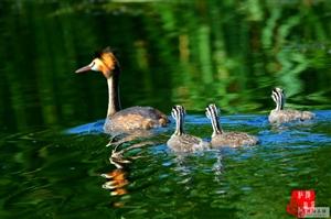 濮阳地区夏季野生水鸟精选