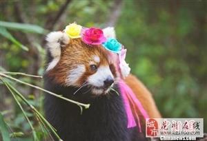 小熊猫嘟嘟拍写真:萌态十足