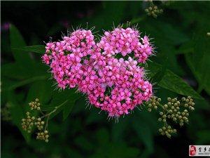 金叶绣线菊