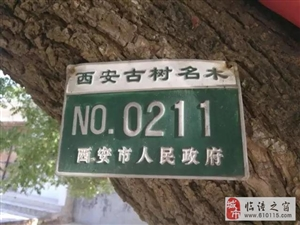 """临潼湾刘村的一棵""""神槐"""",庇佑了几代人!"""