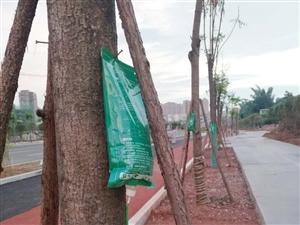长宁58米大道绿化树都在吊盐水,难道是生病了?