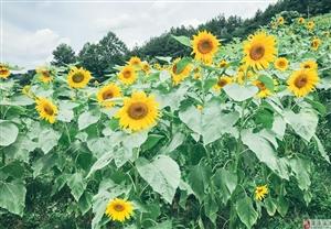 黄家坝的向日葵开了,抓紧时间快去看!