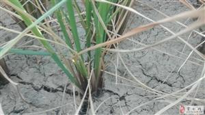 农民的稻田干裂,水稻即将面临绝收,请水利部门早日把河水放下来!