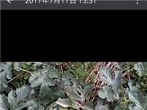 2017年07月新鲜西瓜来袭,量大请联系15883580795