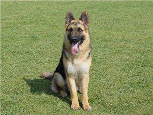 正规犬舍转让纯种健康德国牧羊犬 保证纯种品质