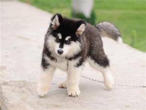 专业狗场繁殖纯种阿拉斯加雪橇犬 现特价转让