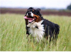 热销极品健康伯恩山犬 品质有保证欢迎挑选