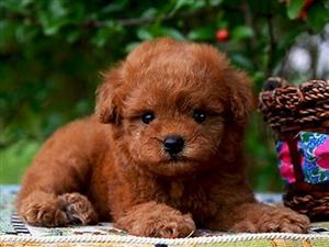 本地狗场热销纯种泰迪犬 韩系血统品质有保证