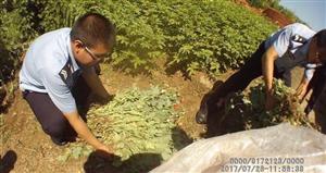 土豆地里种罂粟182株 种植者却不知已犯法