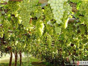 【�z影分享】新疆印象:吐�番的葡萄熟了――�h小成
