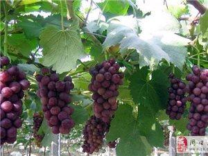 @所有人;周口北环和荣一汽-大众喊你免费摘葡萄啦!