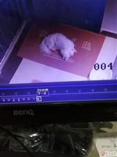 同事小狗于7月25日在黔江体育馆重庆银行附近丢失,同事很着急,找到重谢