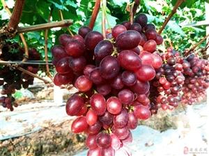 喜欢吃葡萄的朋友们看过来,这个葡萄园老板居然推出三折采摘,好给力!