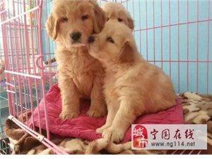 金毛幼犬 三个月大 喜欢的进来看看