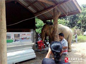 象主人遇难 大象挣脱缰绳在灵柩前流泪跪拜