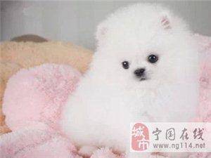 长期繁殖可爱博美俊介犬 各类纯种名犬 包养活签协议