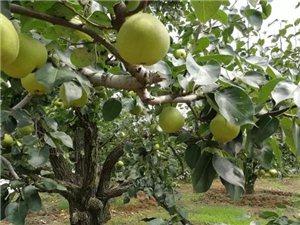 梨熟堪折直�折, 莫待梨�M空折枝。