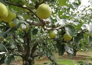 梨熟堪折直须折, 莫待梨尽空折枝。