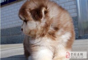 阿拉斯加高大威猛巨型品相的阿拉斯加幼犬超低价出售中