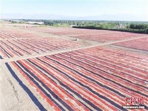 新疆兵团7万亩番茄熟了!这场面你见过没?