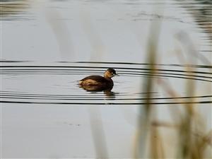 池塘里的黑水鸡