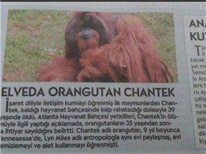 被囚禁30年的�t毛猩猩�x世