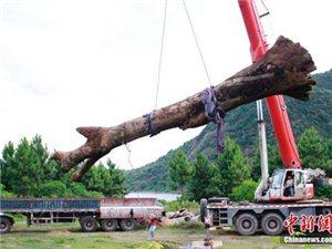 江西横峰河底捞出千年巨木