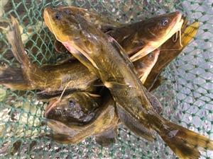 郑州中牟大型养殖基地现有大量黄骨鱼出售,品质保证,价格公道