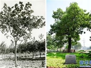 焦桐,活在百姓心中的树