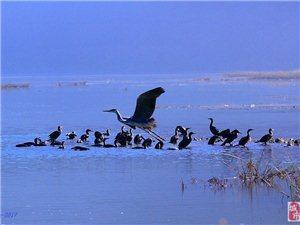 喀左湿地水鸟集锦