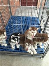 家有阿拉斯加幼犬出售