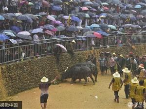 贵州:人山人海冒雨观看斗牛