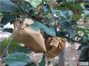 彬县新民镇屯庄村9亩苹果树承包