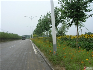 花溪路(西环路)西侧近千米向日葵种植带观察趣事