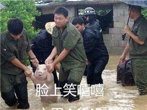 【巴彦网】这只在洪水中获救的小猪火了 被网友做成表情包
