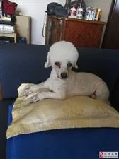 家有爱犬丢失,麻烦寻找,必有重谢