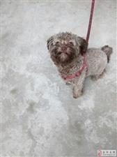 九个月宠物狗泰迪转让