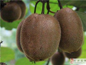 长兴1000亩猕猴桃新鲜上市
