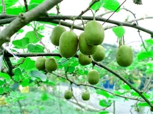 大足宝顶慈航200亩猕猴桃成熟赶快来采摘