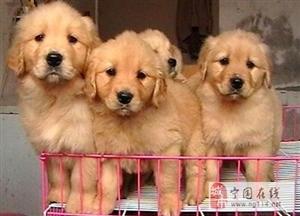 长期繁殖双血统赛级金毛 各类纯种名犬 包养活签协议